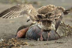 Pacific Gull eating dead seal on the beach. Royalty Free Stock Photo
