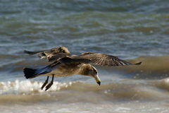 Pacific Gull Royalty Free Stock Photos