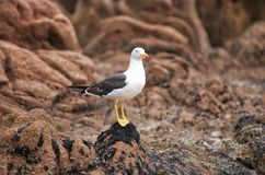 Pacific Gull Stock Images
