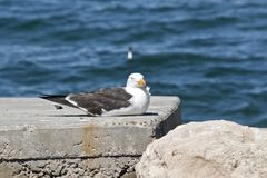 A Pacific gull. The Pacific gull is resting on some rocks royalty free stock photos