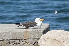 A Pacific gull. The Pacific gull is resting on some rocks stock images