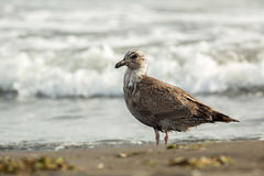 Pacific Gull on the shore of Ocean. Royalty Free Stock Images