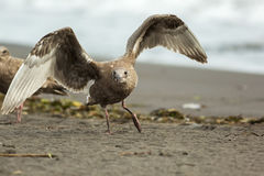 Pacific Gull on the shore of Ocean. Stock Photography