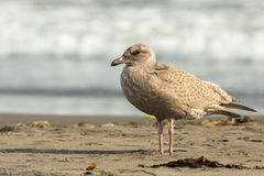 Pacific Gull on the shore of Ocean. Stock Image