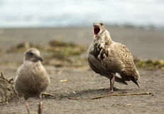 Pacific Gull shows aggression on ocean. Stock Photos