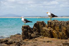 Pacific Gulls Stock Photography
