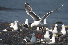 Pacific gulls. In summer, typical sea birds live coast Kamchatka peninsula, fishing Royalty Free Stock Images