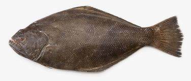Pacific Halibut. A popular fish used in fish and chips Royalty Free Stock Image