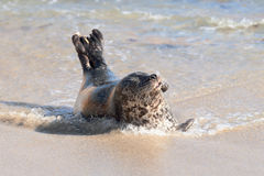 Pacific harbor seal Stock Photography