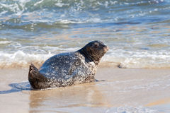 Pacific harbor seal Stock Photos