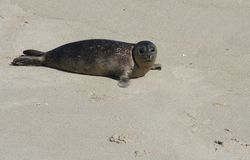 Pacific Harbor Seal Pup royalty free stock images