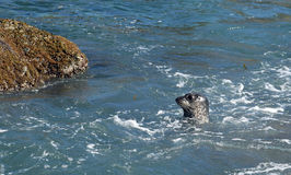 Pacific Harbor Seal at Treasure Island in Laguna Beach, California. Royalty Free Stock Photos