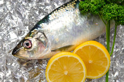 Pacific herring Royalty Free Stock Photos