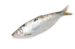 Pacific herring Stock Photo