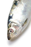 Pacific herring Stock Photography