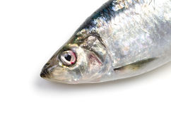 Pacific herring Royalty Free Stock Image