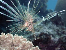 Pacific Juvenile Lionfish Stock Photography