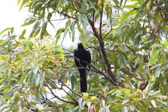 Pacific Koel royalty free stock photography