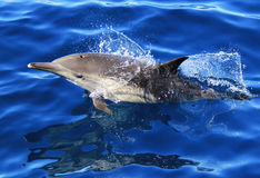 Pacific Long Beaked Common Dolphin Royalty Free Stock Image