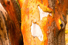 Pacific Madrona Madrone Arbutus Tree Trunk Bare Wood Gnarly Bark Stock Photo