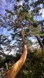 Pacific Madrone. Arbutus Menziesii bark Stock Photos