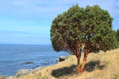 Pacific Madrone Tree Stock Photos