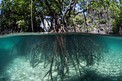 Pacific Mangrove. Prop roots descend from red mangrove trees (Rhizophora sp.) in a flooded forest in the tropical western Pacific. Mangroves are an ecologically Stock Images