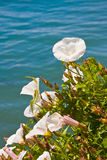Pacific Morning Glory Flowers Stock Image