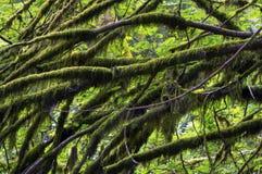 Pacific Northwest τροπικών δασών Στοκ εικόνες με δικαίωμα ελεύθερης χρήσης
