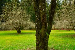 Pacific Northwest forest and Apple tree grove. A picture of an Pacific Northwest Washington state forest and Apple tree grove royalty free stock image