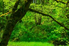 Pacific Northwest forest and Big leaf maple trees. A exterior picture of an Pacific Northwest forest with a Big leaf maple trees royalty free stock image