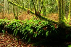 Pacific Northwest forest and Big leaf maple trees. A exterior picture of an Pacific Northwest forest with a Big leaf maple trees stock images