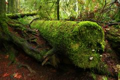 Pacific Northwest forest and conifer tree log Stock Photography