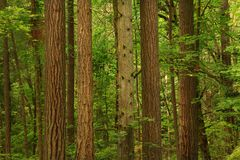 Pacific Northwest forest and Douglas fir trees. A picture of an Pacific Northwest Washington state forest with old growth Douglas fir trees stock photos