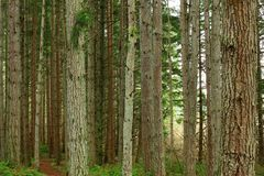 Pacific Northwest forest and conifers. A picture of an Pacific Northwest Washington state Stock Image