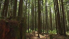 Pacific Northwest Forest dolly shot Stock Images