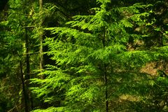 Pacific Northwest forest with a Douglas fir tree Royalty Free Stock Image
