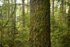 Pacific Northwest forest and Douglas fir tree Stock Photography