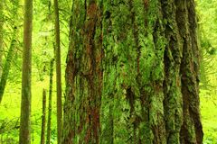 Pacific Northwest forest and Douglas fir tree Royalty Free Stock Image