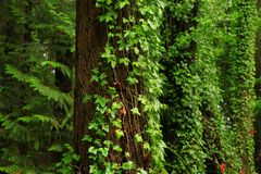Pacific Northwest forest and Douglas fir trees stock photos