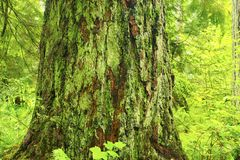Pacific Northwest forest and Douglas fir trees stock photo