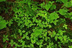 Pacific Northwest forest ground cover. A picture of an Pacific Northwest Washington state forest ground cover royalty free stock image