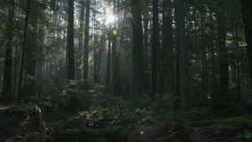 Pacific Northwest Forest Misty Morning dolly shot stock video