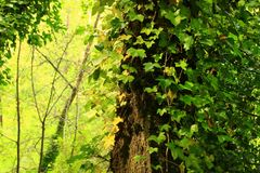 Pacific Northwest forest and Red alder tree Royalty Free Stock Image