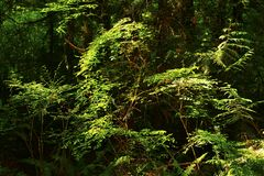 Pacific Northwest forest and Vine maple trees. A picture of an Pacific Northwest Washington state forest with a young Vine maple tree stock photo