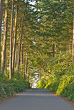 Pacific Northwest Forest Road. Pacific Northwest Road through Forest Canopy stock photos