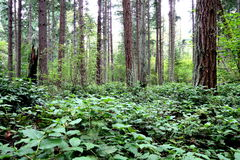Pacific Northwest Forest Scene Royalty Free Stock Images