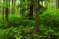 Pacific Northwest forest and second growth conifer trees. A exterior picture of an Pacific Northwest forest with second growth conifer trees Stock Photography