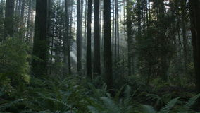 Pacific Northwest Forest Sun Flare dolly shot right stock video