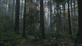Pacific Northwest Forest Sunshine dolly shot stock video